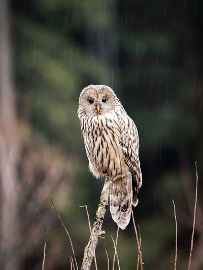 Close up of ural owl in the wilderness forest
