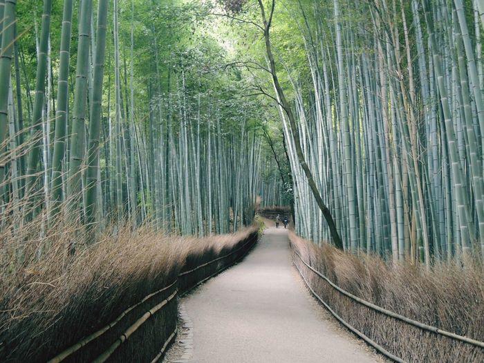 Walkway amidst bamboos at arashiyama