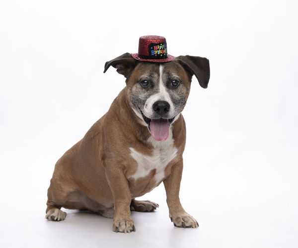 Happy Birthday Canine Dog Domestic Domestic Animals Full Length Indoors  Jack Russell Terrier Looking At Camera Mammal Mouth Open No People One Animal Pets Portrait Sitting Sticking Out Tongue Studio Shot Vertebrate White Background