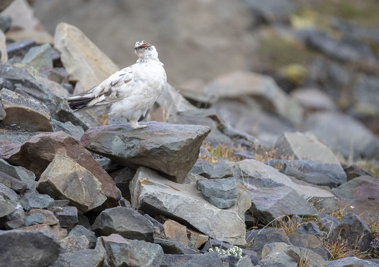 Adult Male Animal Wildlife Animals In The Wild Bird Close-up Grouse Nature No People One Animal Outdoors Vertebrate