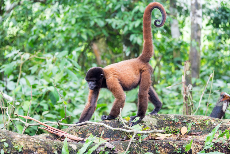 Woolly monkey in the Amazon rain forest near Iquitos, Peru Amazon Amazonas Amazonia Animal Animal Wildlife Animals In The Wild Day Iquitos  Jungle Mammal Monkey Nature No People One Animal Outdoors Peru Rain Forest Rainforest South America Tree Woolly Woolly Monkey