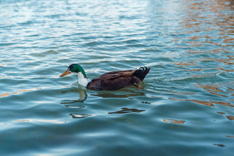 Animal Themes Animal Water Bird Vertebrate Animal Wildlife Animals In The Wild One Animal Waterfront Lake Swimming Day No People Nature Water Bird Beauty In Nature Rippled Outdoors High Angle View