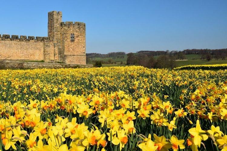 Field Flower Flowering Plant Plant Growth Sky Architecture Land Beauty In Nature Nature Built Structure Yellow Landscape Clear Sky History Day Rural Scene The Past Freshness Building Exterior No People Outdoors Springtime Daffodil Daffodils Yellow Flower Spring Spring Flowers Blue Sky Castle Alnwick Castle Tranquility Tranquil Scene Calm Relaxing Relaxation Scenics View
