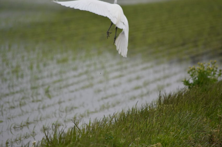 Agriculture Copy Space Fly Away Rice Rice Paddy SAKATA YAMAGATA Assault Attack Beauty In Nature Bird Copyspace Fast Flying Bird Flying Heron Heron Hunting Kamikaze Selective Focus Water White White Bird White Color 庄内米 農村
