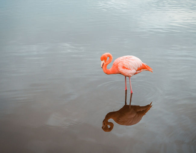 Flamigos in the Galapagos Animal Animal Neck Animal Themes Animal Wildlife Animals In The Wild Bird Day Drinking Flamingo Freshwater Bird Lake Nature No People Orange Color Outdoors Pink Color Reflection Vertebrate Water Waterfront