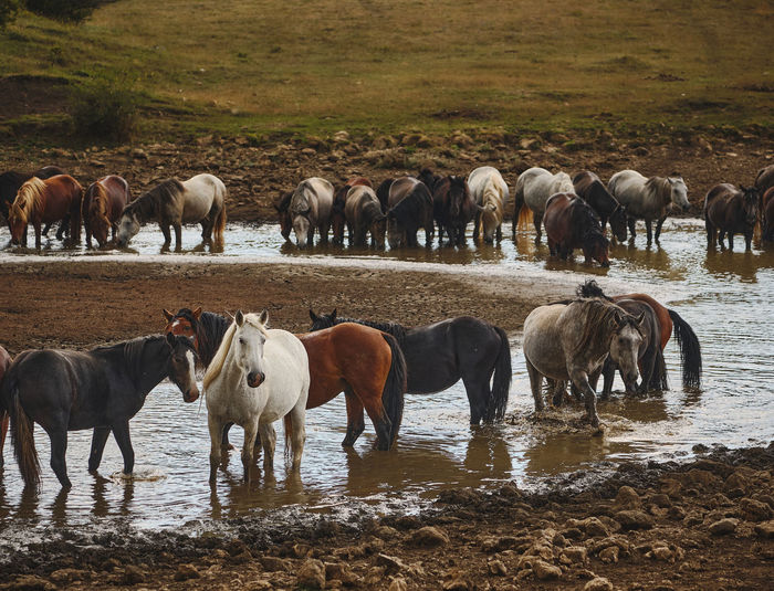Feral horses standing in a pond, water place.