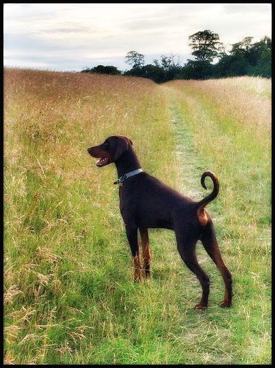 Alfie The Doberman Walkingthedog Doberman  Dobermann Enjoying Life Nature On Your Doorstep Dogs Pastel Power