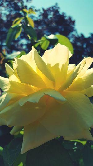 Rose - Flower .