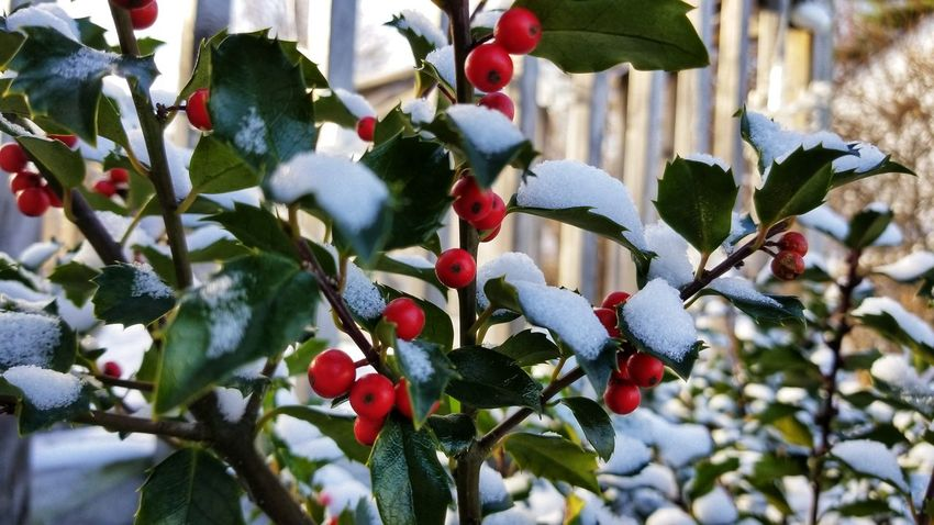 Have a holly jolly.. EyeEm Selects Snow Covered Holiday - Event Nature Growth Outdoors Tree Day Branch Beauty In Nature Winter Low Angle View No People Hanging Snow Close-up Fruit Freshness Focus On Foreground Cold Temperature Leaf
