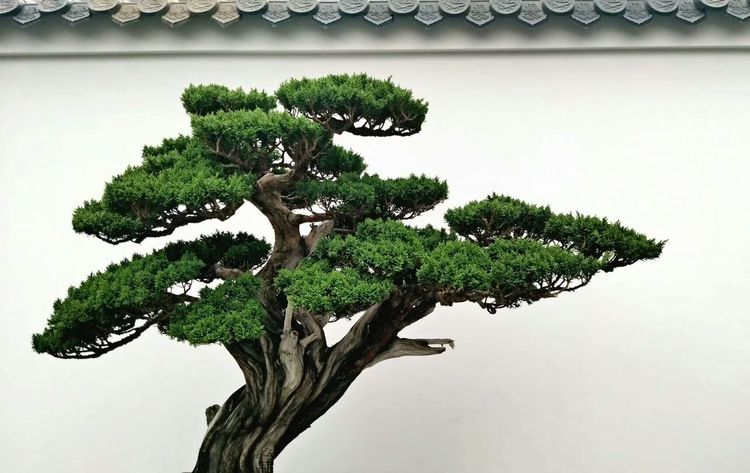 Tree Bonsai Tree Single Tree Green Color Plant Growth Nature No People Close-up Day Indoors  White Background