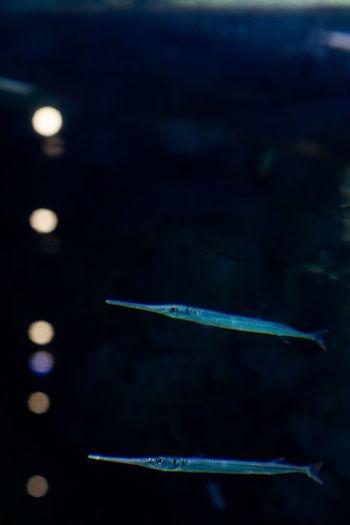 Black Background Close-up Day Needle Needlefish No People Outdoors