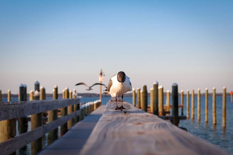 View of seagull on wooden post