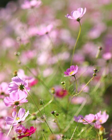 하늘하늘 참 예쁜 코스모스 . . #하루한컷 #코스모스 #나리공원 #가을 #5DMARK4 #만투 #EF85MMF12LIIUSM Flower Head Flower Pink Color Beauty Multi Colored Petal Nature Reserve Purple Blossom Springtime