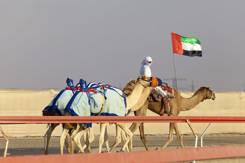 Camels racing practice in Al Wathba, UAE Abu Dhabi Practice Racing UAE Al Wathba Animal Wildlife Camel Day Domestic Domestic Animals Emirates Herbivorous Horse Livestock Mammal Nature Outdoors Pets Practicing Race Sky Training Uae,abudhabi Vertebrate Working Animal The Street Photographer - 2018 EyeEm Awards