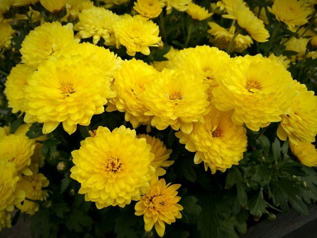 Yellow Flower Germany Today Siegen, Germany Siegen No People цветочки😍😍😍 цветыкрасивые☺💐 Цветы 🌸🌷🌼🌹 цветы🌸🌼🌻💐🌾🌿 Flowers 🌸🌸🌸 цветочки 🌼 Flowers :) Flowers Outdoors Flowers, Nature And Beauty Blumenpracht🌺🍃 Day Blumen *~*