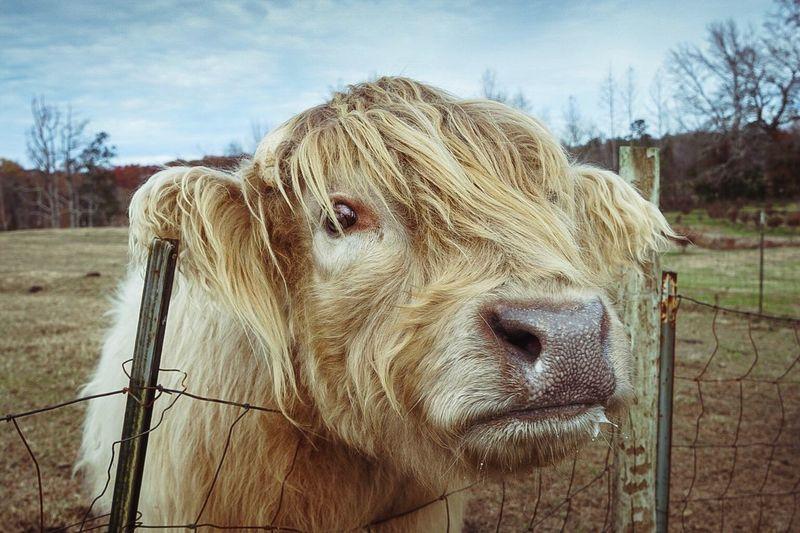 Cow Farm Fence Animal Barn Field Agriculture Outdoors Moo Yak