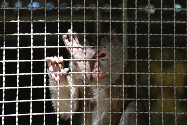 Sad Monkey Animal Themes Animals In Captivity Bird Birdcage Cage Chicken - Bird Close-up Day Domestic Animals Livestock Mammal Monkey Nature No People One Animal Outdoors Sad Trapped