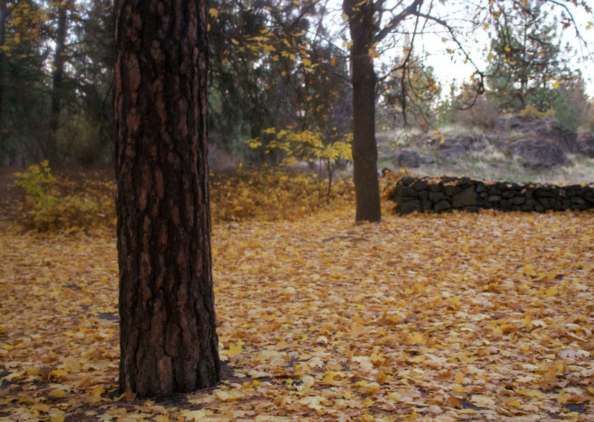The leaves are falling... Fall Time Leaves On The Ground Leaves🌿 Yellow Leaves Autumn Autumn Colours Autumn🍁🍁🍁 Beauty In Nature Change Day Deciduous Tree Forest Growth Leaf Leaves 🍁 Nature No People Outdoors Park - Man Made Space Plant Plant Part Scenics Tree Tree Trunk WoodLand