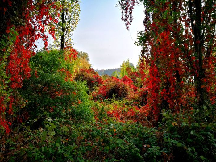 Autumn Herbst Loving Nature Wilderness Urwald Nature Natur Herbst Herbststimmung Herbstfarben Herbstzeit Autumn Autumn Leaves Blätter Bäume Büsche Bushes Bushes And Trees Tree Red Sky Plant