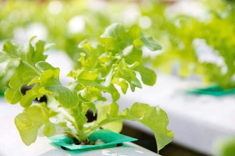 Green Hydroponic Lettuce Beauty In Nature Close-up Day Farming Fragility Freshness Green Color Growth Hydroponic Hydroponic Vegetables Hydroponicsystem Leaf Nature No People Outdoors Plant Vegetable Vegetable Garden