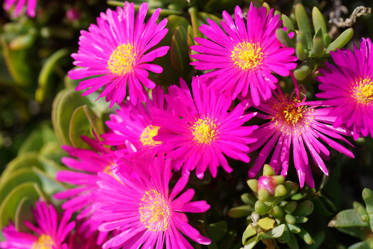 CLOSE-UP OF PINK AND PURPLE FLOWERS