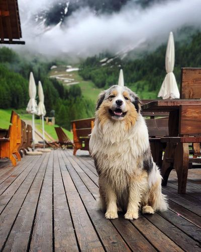 Dog Canine One Animal Pets Domestic Animal Themes Animal No People Vertebrate Wood - Material Domestic Animals Mammal Day Portrait Outdoors Looking At Camera Nature Footpath Architecture