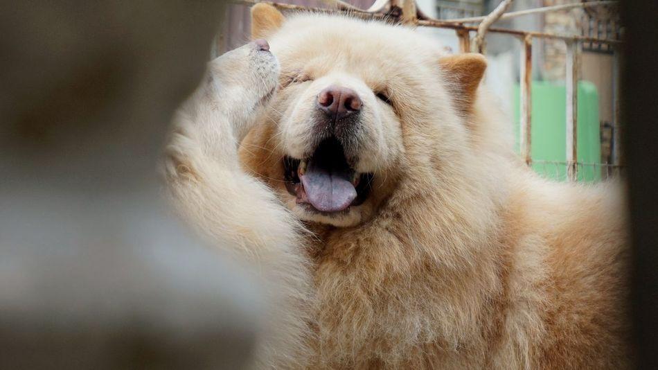 man's best-est friend. ChowChow EyeEm Selects Pets Dog Portrait Close-up