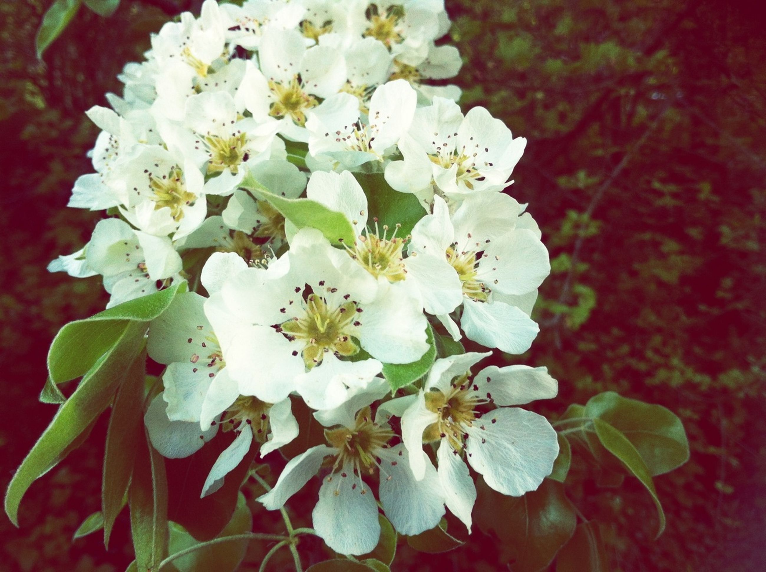 flower, freshness, petal, fragility, growth, flower head, beauty in nature, white color, blooming, nature, close-up, blossom, in bloom, plant, leaf, focus on foreground, springtime, stamen, botany, bunch of flowers