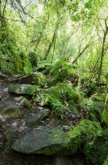 Forest in the path to the Condor Machay Waterfall, Ecuador Forest Plant Tree Land Green Color Beauty In Nature Tranquility Nature Growth WoodLand Moss Day Water No People Lush Foliage Foliage Tranquil Scene Solid Non-urban Scene Rock Outdoors Rainforest Stream - Flowing Water Flowing