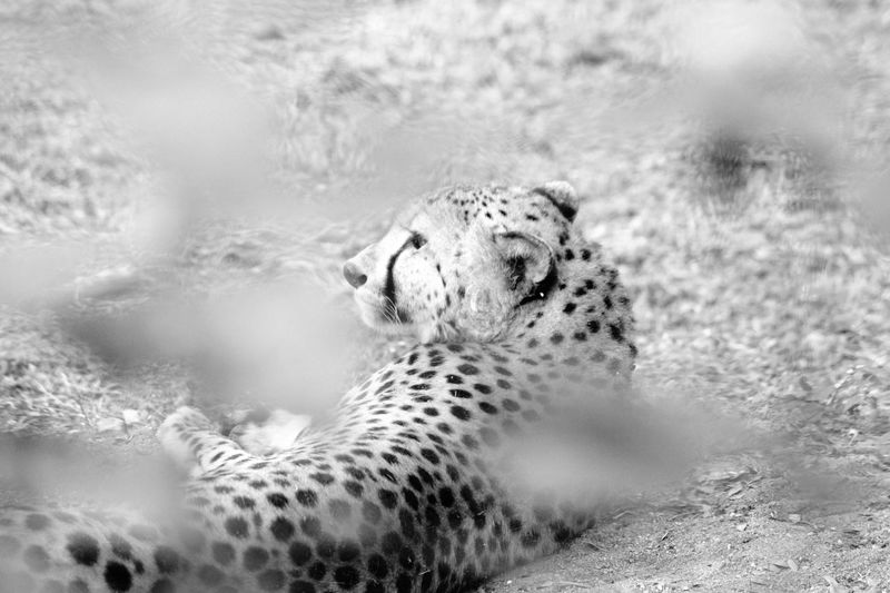 love cats family Cat Lovecats Cheetah Leopard Dangerous Animals Extinction Shades Of Grey Capture The Moment Photooftheday Day The Natural World Animal Themes No People Cheetah An Eye For Travel