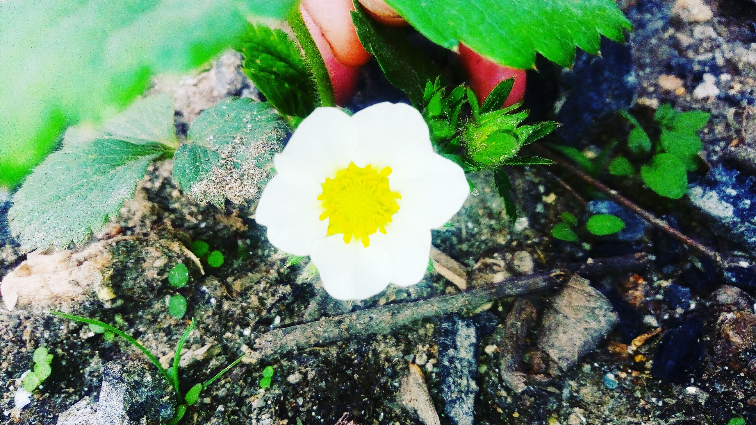 flower, high angle view, leaf, plant, freshness, growth, nature, petal, close-up, water, fragility, beauty in nature, single flower, flower head, day, no people, outdoors, yellow, directly above, rock - object