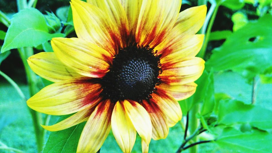 Sunflower Filtered Nature_collection EyeEm Nature Lover