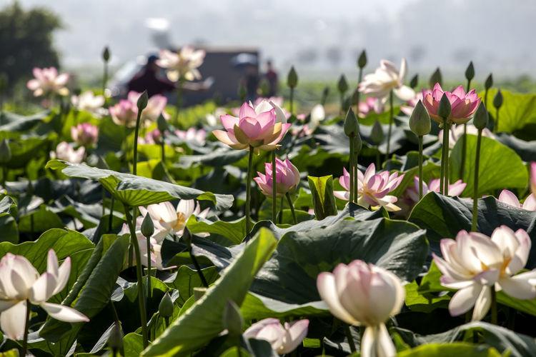 Lotus water lilies growing outdoors