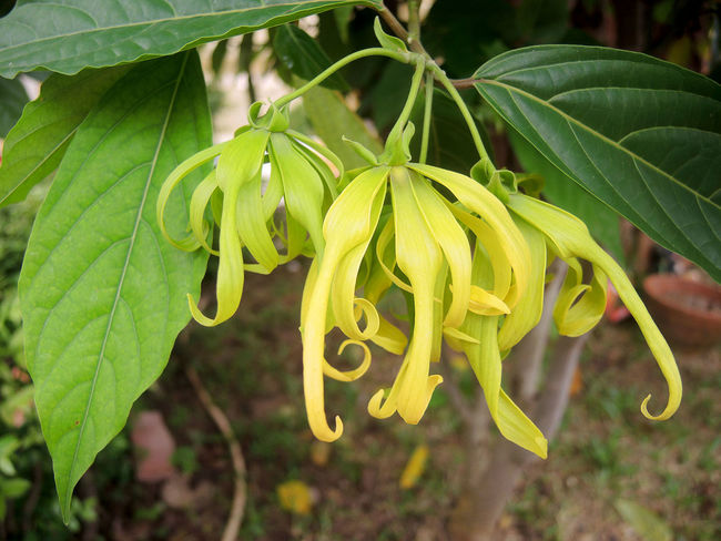 Perfume Tree (Ylang-Ylang Flower) blooming on tree for manufacture of essential oil. Blooming Cananga Essential Oil Flower Flower Head Flowering Plant Fragility Fragrance Freshness Fruticose Species Growth Leaf Nature Outdoors Perfume Petal Plant Spa Ylang-ylang
