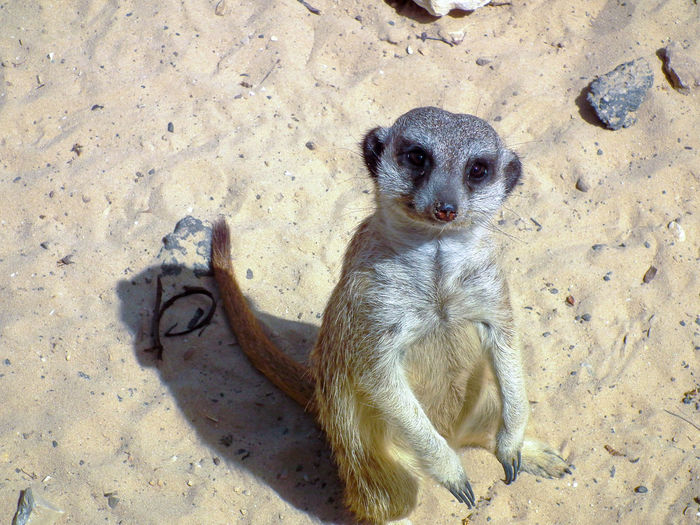 meerkat standing on sand and poses for photographer Animal Animal Themes Bun Close-up Day Fixed Immobile Logged Looking Mammal Meerkat Motionless Nature No People Outdoors Photographer Poses Sand Squirrel Stand-up Standing Stationary Still Watching Wildlife