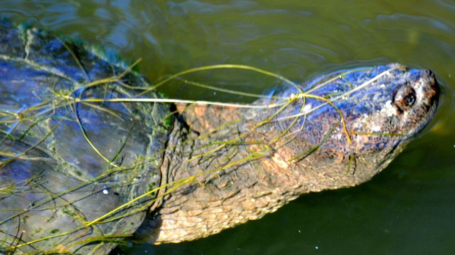 Close-up of turtle in lake