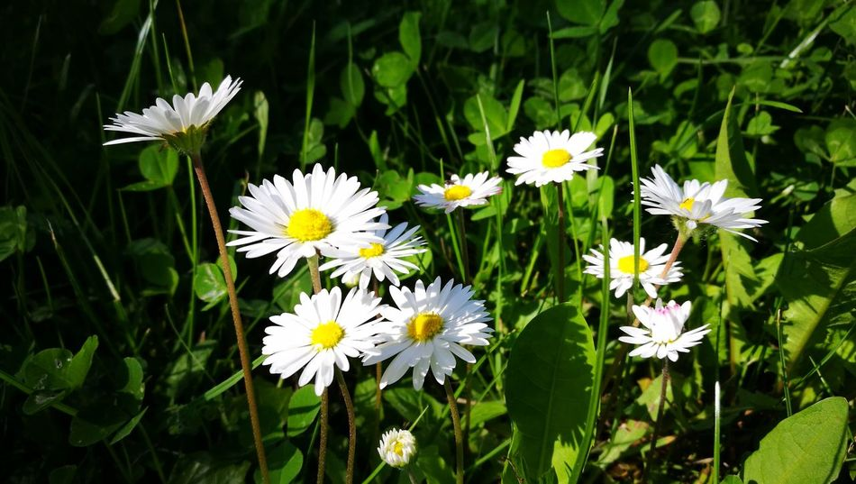 Flower fun Beauty In Nature Blooming Close-up Daisy Flower Flower Head Freshness Green Color Nature Petal White Color