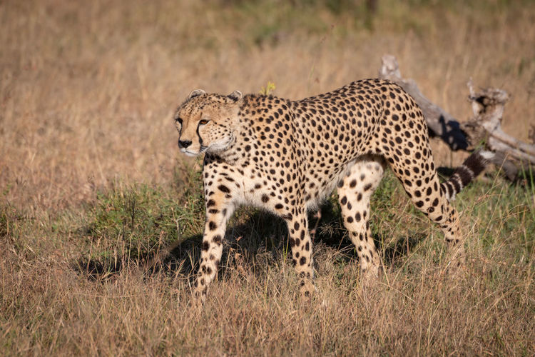 Cheetah walking on field