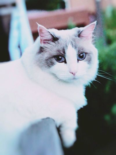 Cat Airly Fresh Air... Ragdoll Looking Outside Late Evening Sky Cat Lovers Pet Photography