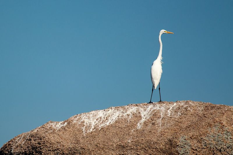 Low angle view of bird perching on rock against clear blue sky