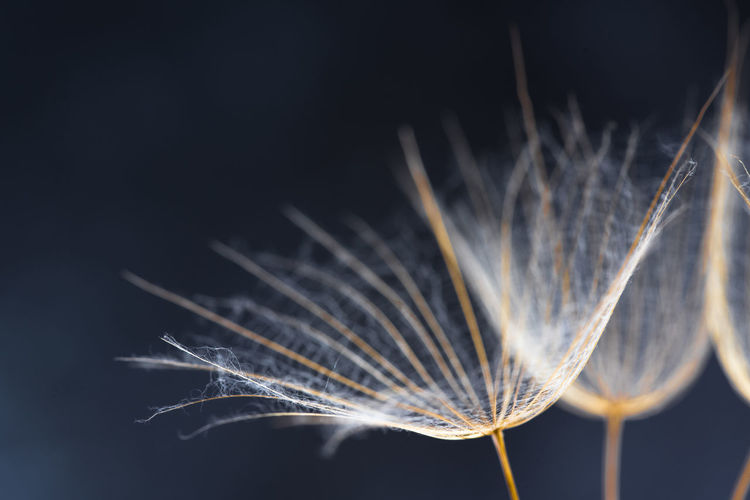 Close-up of dandelion plant