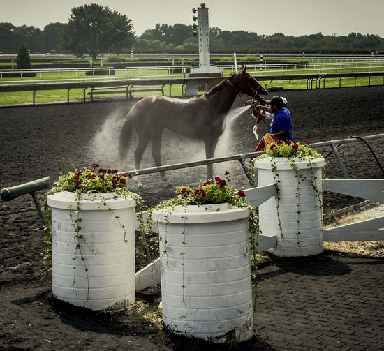Race horse being cooled down after running on the track. Animal Themes Horse Horse Photography  Horse Ract One Animal Race Track Thoroughbred Thoroughbredracing