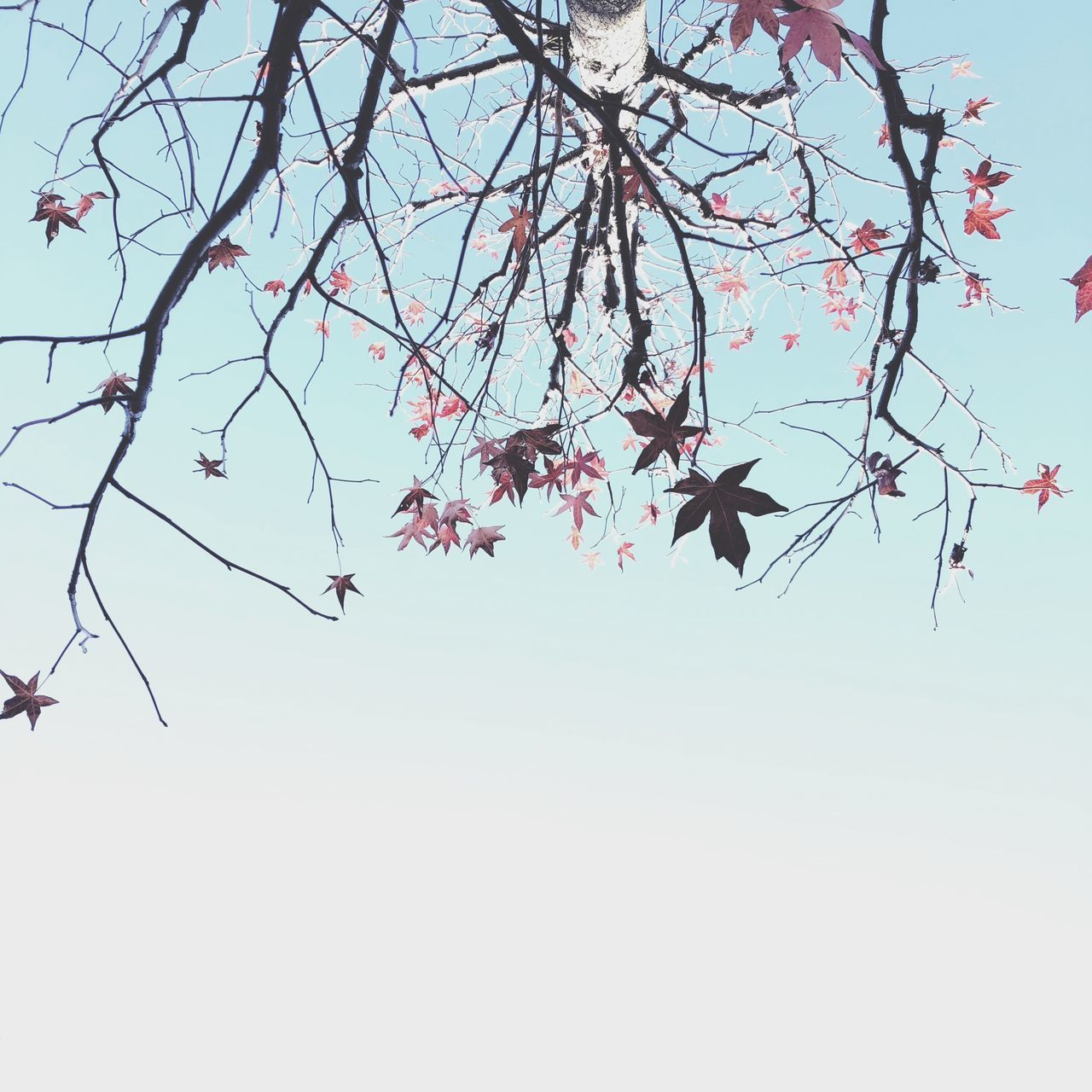 plant, tree, branch, sky, beauty in nature, growth, low angle view, flower, flowering plant, nature, clear sky, fragility, pink color, no people, vulnerability, freshness, day, springtime, tranquility, blossom, outdoors, cherry blossom, cherry tree