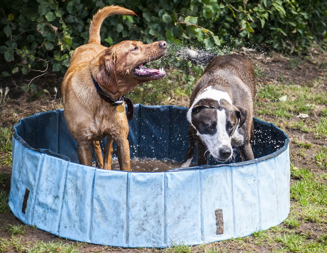 Fun in the sun Pets Dogs Domestic Animals Fun Paddling Pool Water Summer Sunny Portsmouth Southsea Hampshire  England Pets Dog