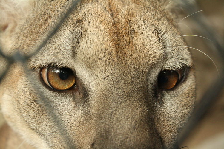 Detail shot of a puma