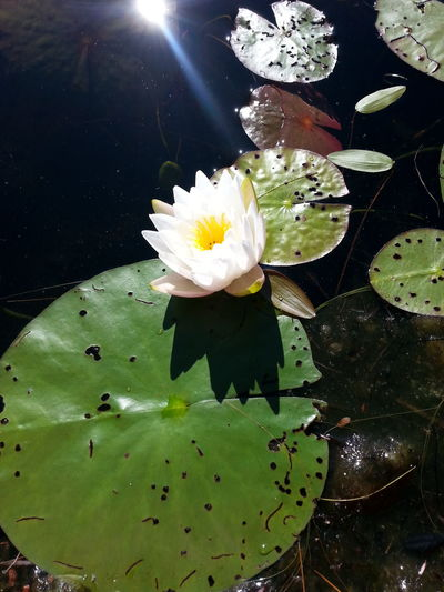 Lily Pads White Flower At The Lake Shadow Close-up Sun Flare Sun Reflection Patterns In Nature Unedited Photo From The Canoe Fragrant White Water Lily Nymphea Odorata Beaver Root American White Water Lily