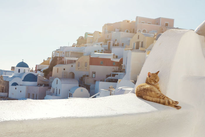 Santorini Stray Ginger Cat Greek Animal Animal Themes Building Cat Day Dome Domestic Domestic Animals Domestic Cat Feline Ginger Greece Mammal Nature No People One Animal Pets Real People Santorini Stray Sun