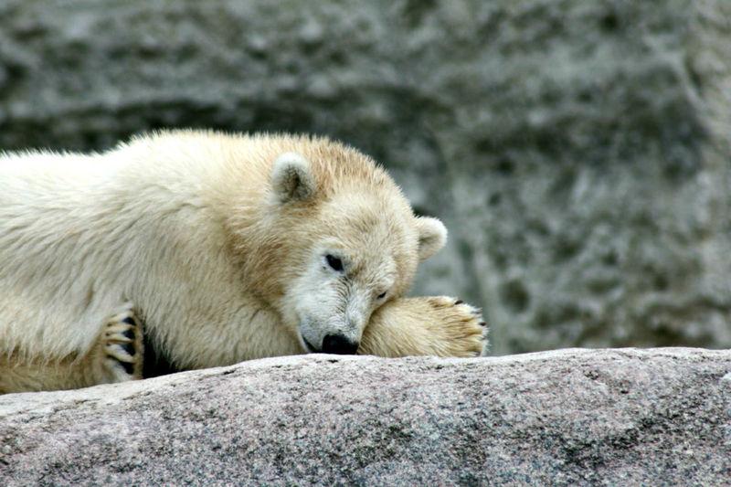 Animal Hair Animal Themes Cute Mammal No People Polar Bear Cub Relaxation Resting Young Animal