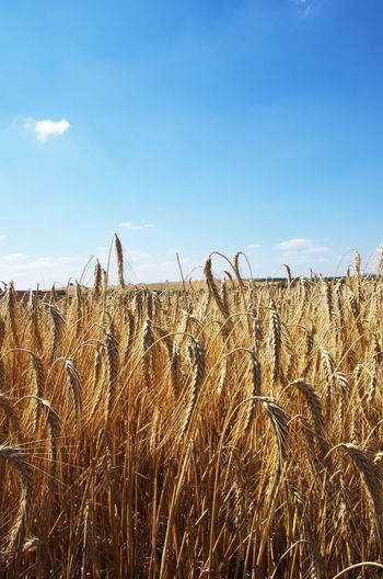 landscape of golden wheat field Spikes Wheat Field Agriculture Beauty In Nature Cereal Plant Farm Field Golden Wheat Field Land Landscape Nature Plant Plantation Rural Scene Scenics - Nature Sky Tranquil Scene Wheat