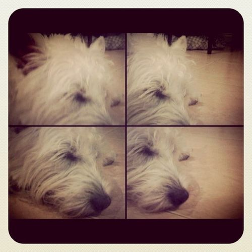 Sleepy Dog Plamuek Westie IPhoneography